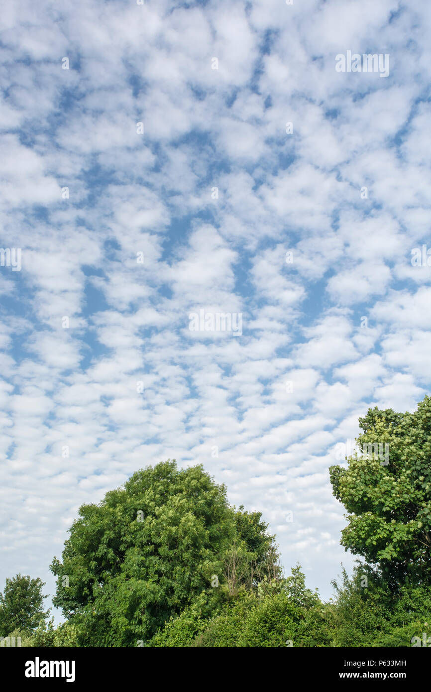 Natural hedgerow set against blue summer sky with fluffy clouds. - Stock Image