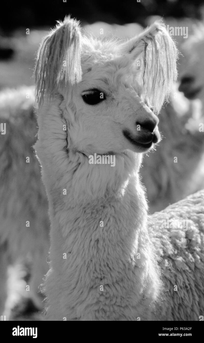 White LLAMA with ear tassels at HACIENDA UCHUY FINAYA - AUZANGATE TREK, PERUVIAN ANDES - Stock Image
