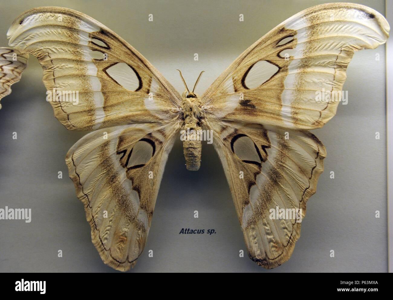 Mariposa atlas (Attacus atlas). Especie de lepidóptero ditrisio de la familia Saturniidae. La mariposa más grande del mundo. Museum fur Naturkunde (Museo de Historia Natural). Berlín. Alemania. Europa. - Stock Image