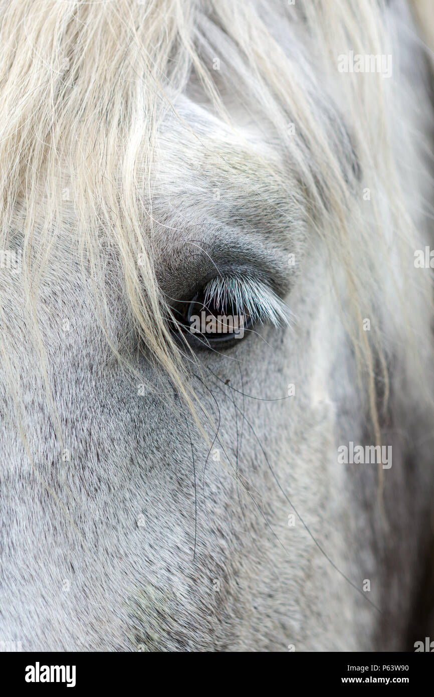Close-up of the eye of a white horse. - Stock Image