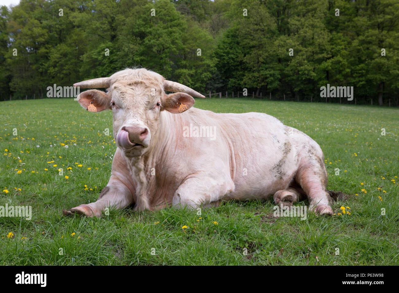 A young Charolais bull ruminating in a green pasture, licking it's nose with his tongue. - Stock Image