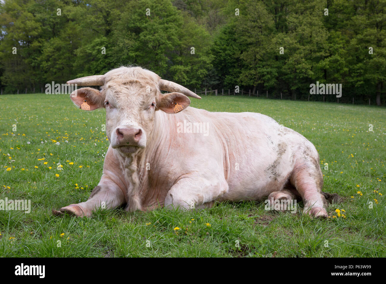 A young Charolais bull ruminating in a green pasture. - Stock Image