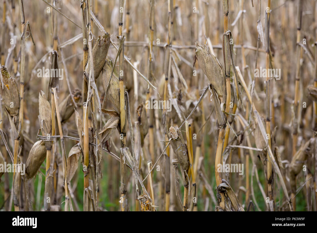 Dead dried corn plants in a field that has suffered long drought-stricken periods. - Stock Image