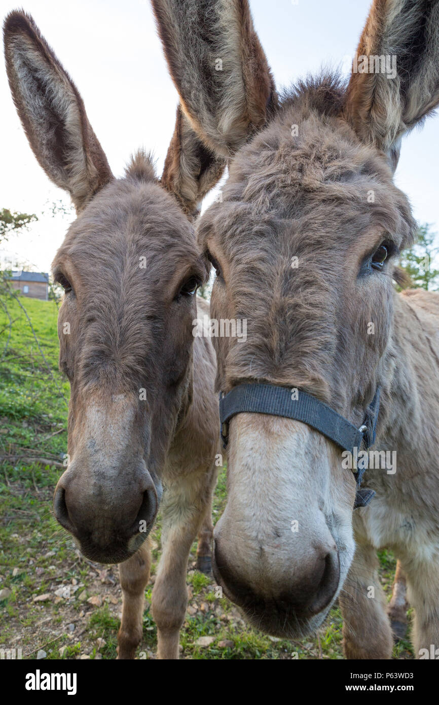 Portrait of two cute donkeys looking in the camera. Stock Photo