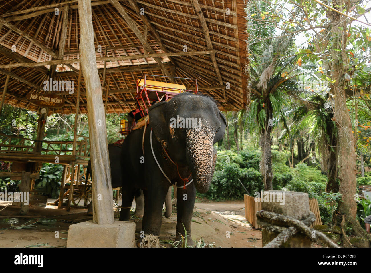 Domesticated and tied sad elephant standing with saddle. - Stock Image