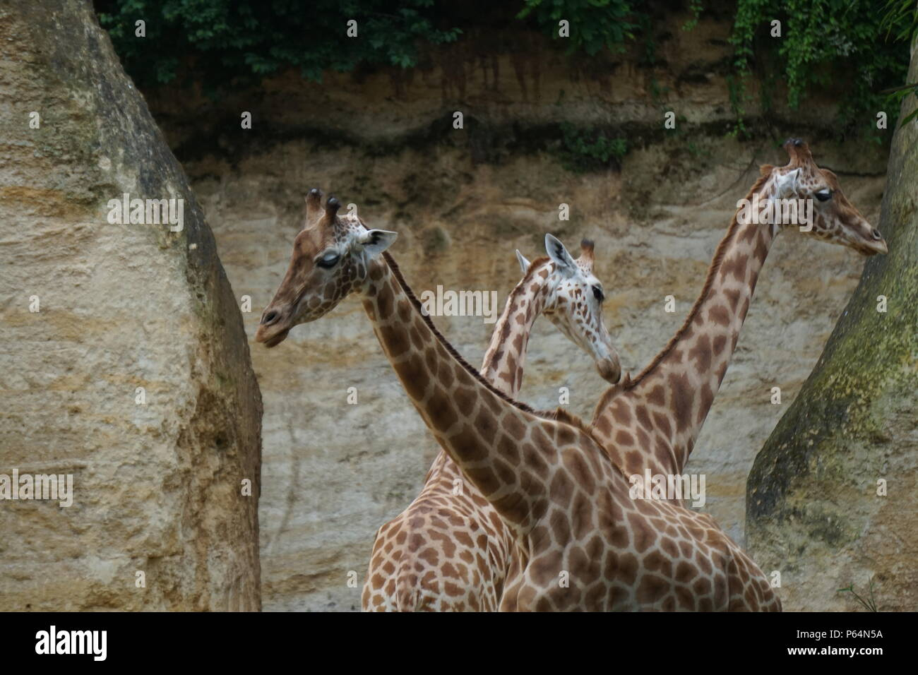Three giraffes necks crossing each other path in the troglodyte zoo of Doue la Fontaine, France - Stock Image