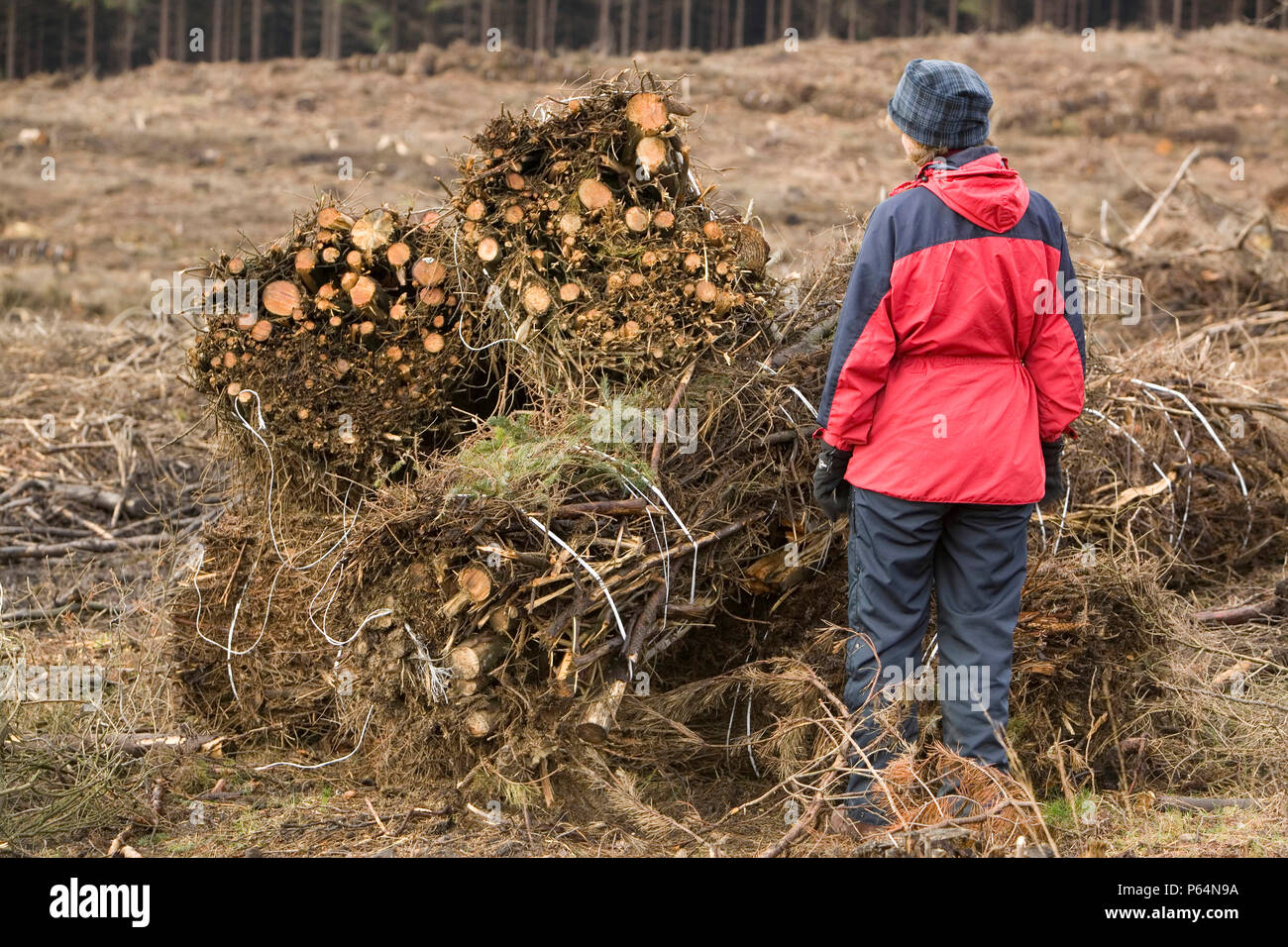 Baleing up brashings after timber harvesting on Longridge Fell Clitheroe Lancashire UK. The waste wood that would formally have been left to rot is no - Stock Image