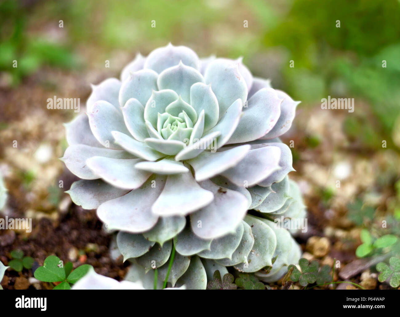 Green succulent plant, beautiful desert plant, close-up shot. - Stock Image