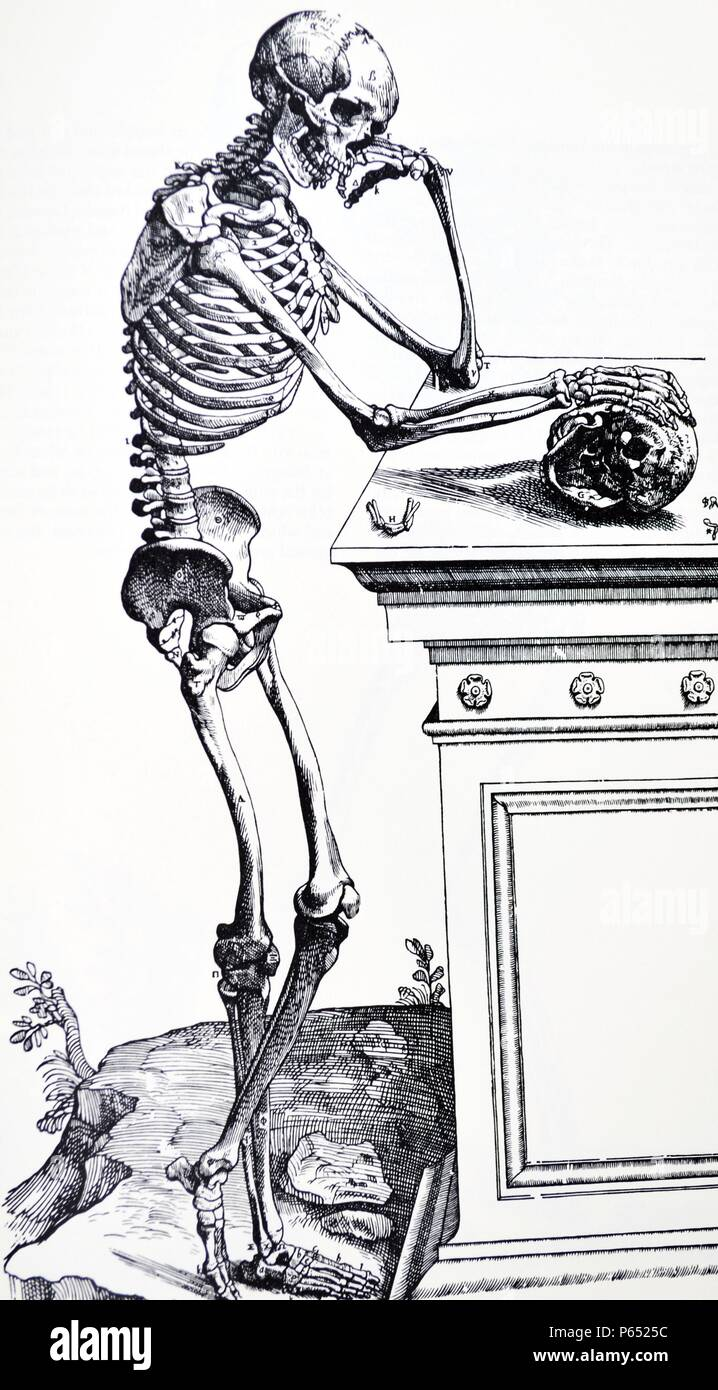 The Plates from the First Book of the De Humani Corporis Fabrica by Andreas Vesalius, (1514-1564) Plate 22 - A delineation from the side of the bones of the human body freed from the rest of the parts which they support, and placed in position. - Stock Image