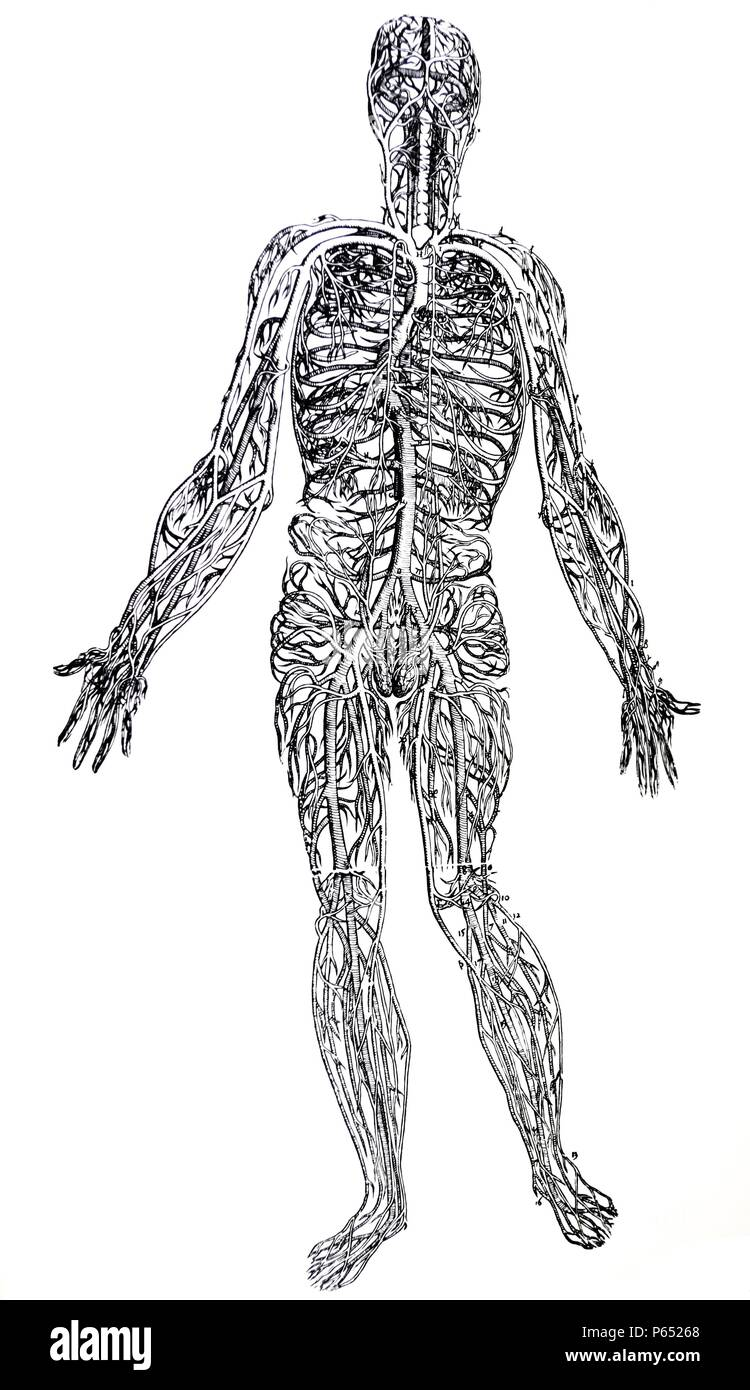 The Plates from the Third Book of the De Humani Corporis Fabrica by Andreas Vesalius, (1514-1564) Plate 44 - A delineation of the entire vena cava freed from all parts. - Stock Image