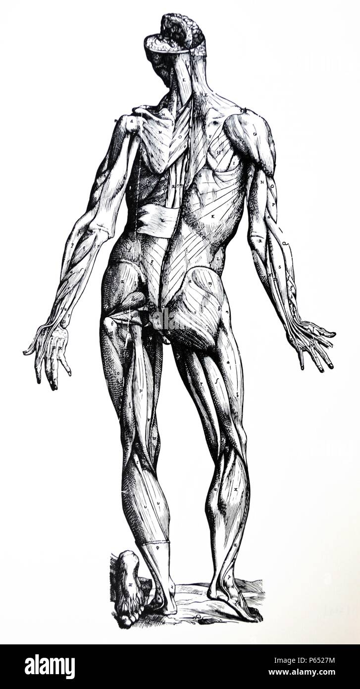 The Plates from the Epitome of the De Humani Corporis Fabrica by Andreas Vesalius, (1514-1564) Plate 77 - The second figure prepared for the demonstration of the muscles exhibits the posterior aspect of the body, just as the first did the anterior. - Stock Image
