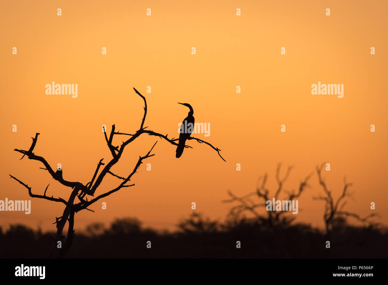 Silhouette of a cormorant in a tree at sunset - Stock Image