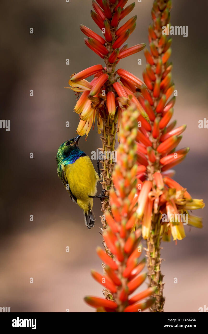 Male Sunbird feeding from a colourful flower - Stock Image