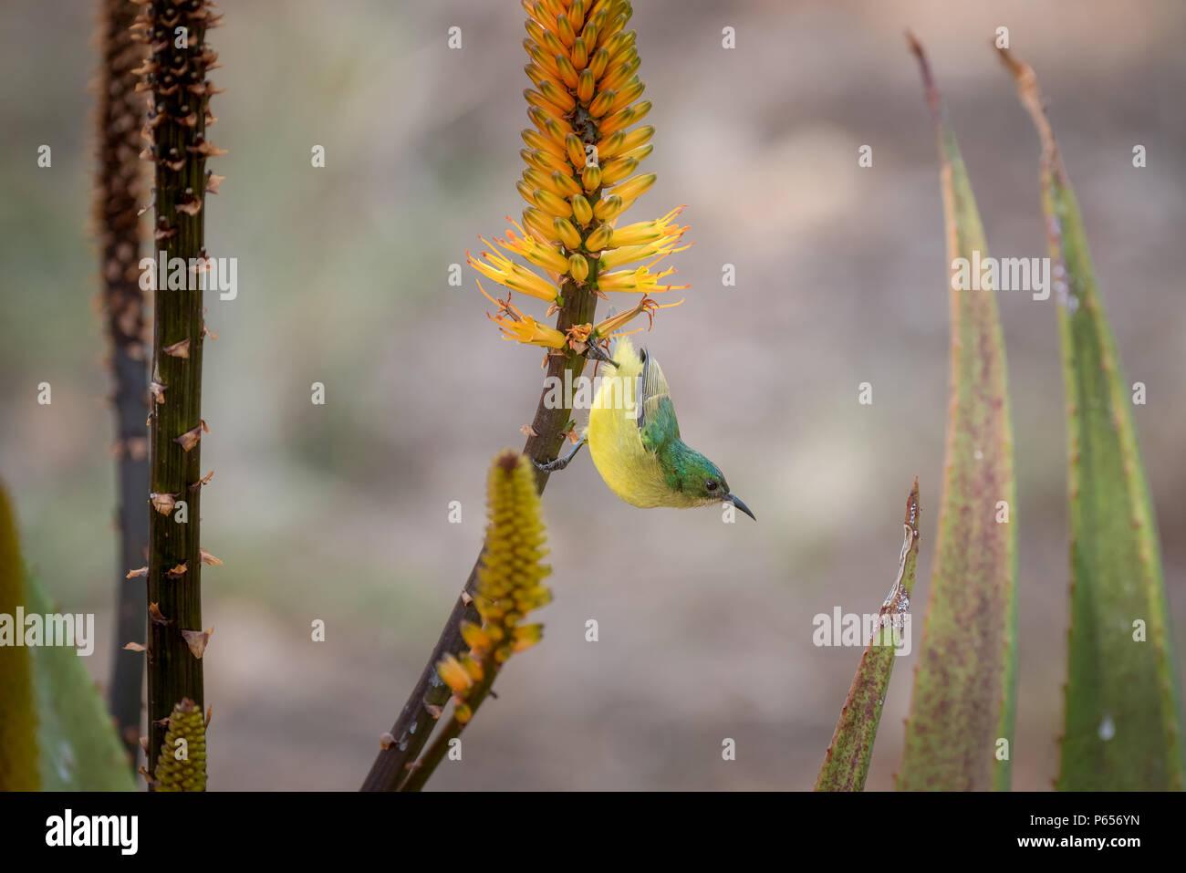Female Sunbird on colourful flower - Stock Image