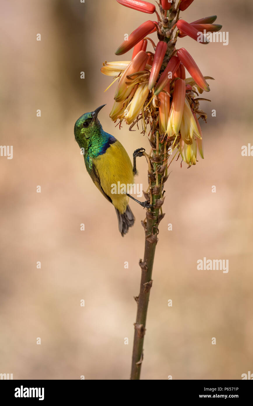 Colourful male Sunbird feeding on a flower - Stock Image