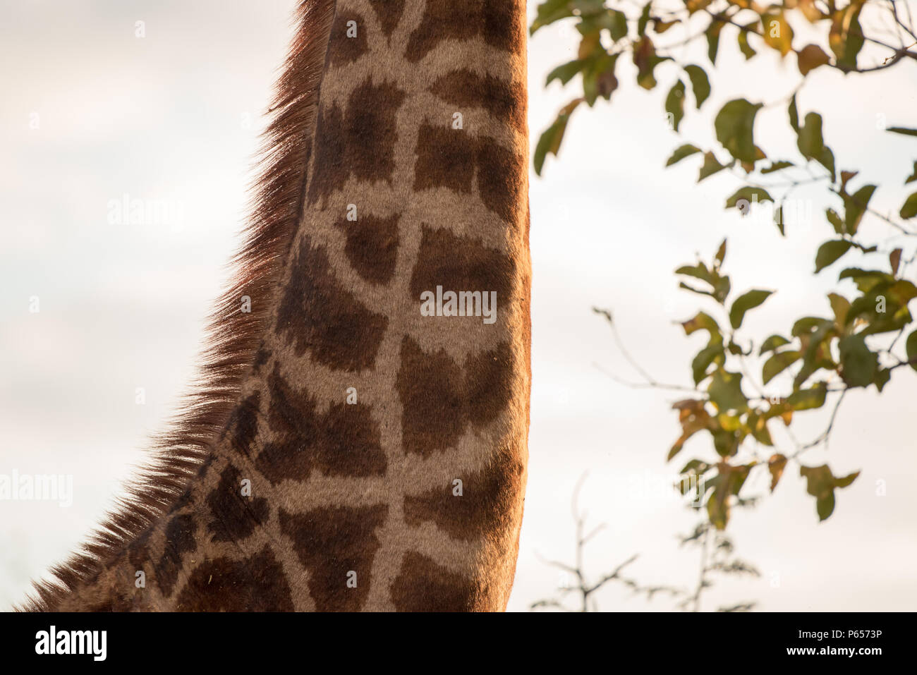 Giraffe's neck with head above trees - Stock Image