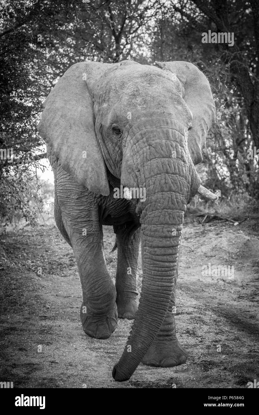 Large elephant charging, close up, black and white - Stock Image