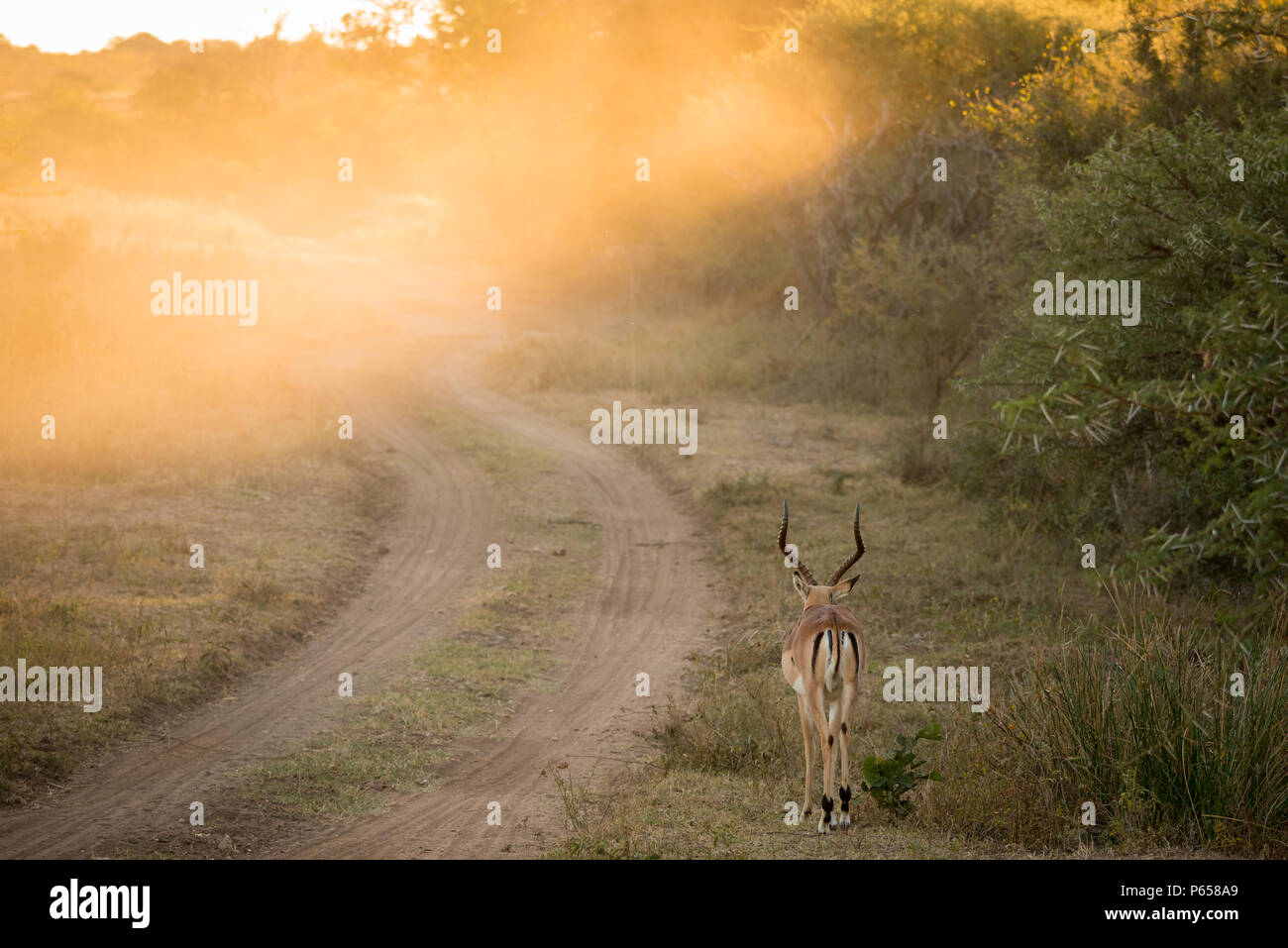 Impala with golden light at dawn on safari Stock Photo