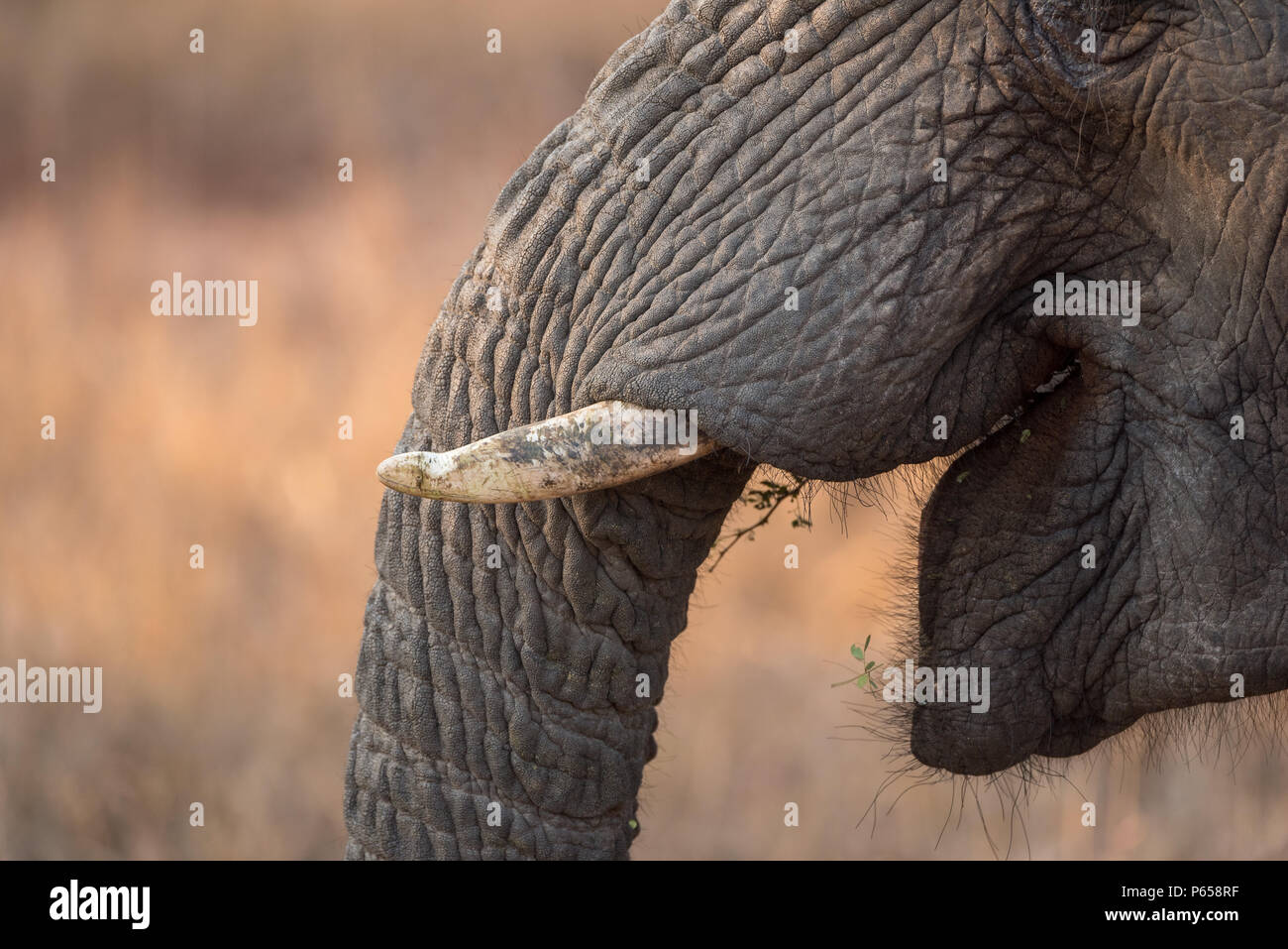 Close up of elephant, mouth open, tusks - Stock Image