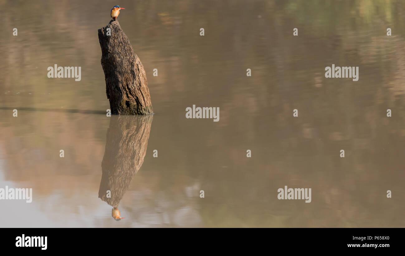 Azure kingfisher and reflection - Stock Image