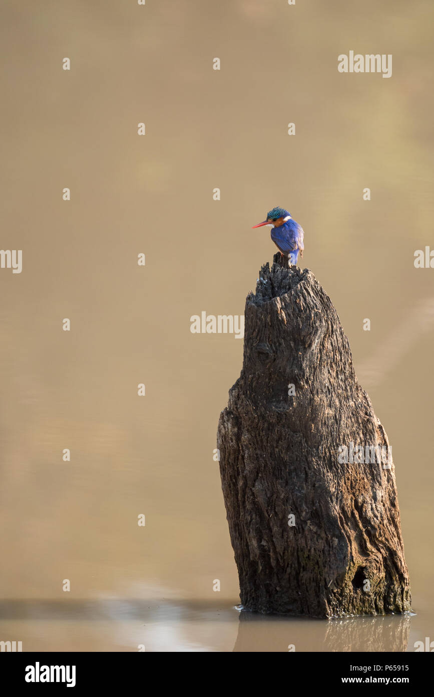 Azure Kingfisher fishing - Stock Image