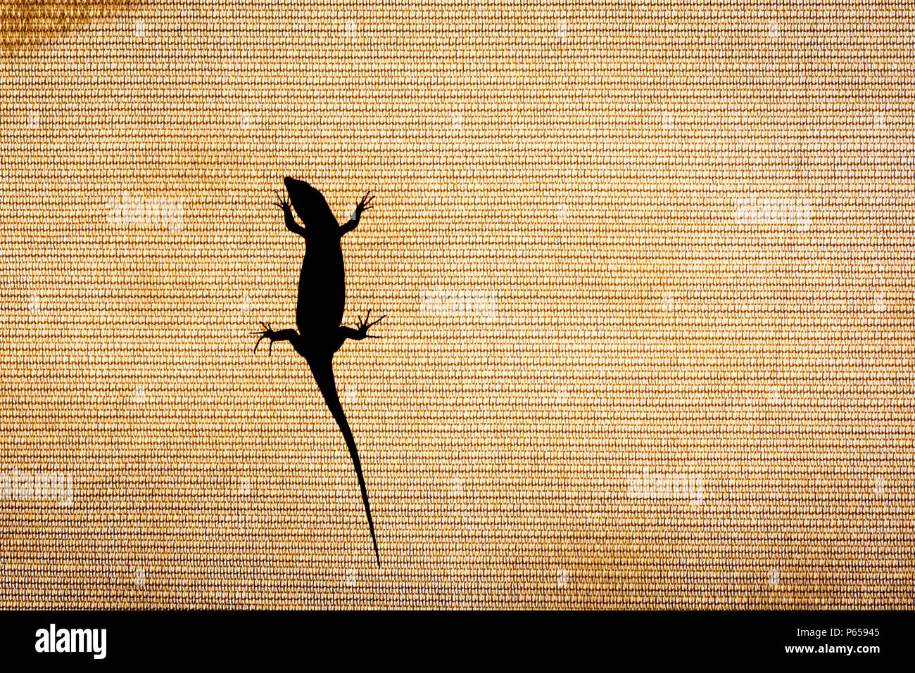 Silhouette of a lizard - Stock Image