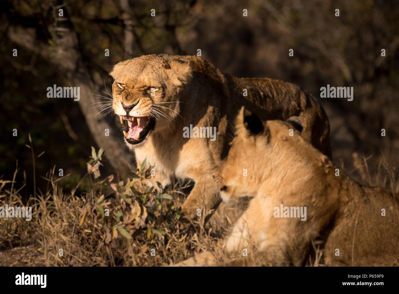 Lioness roaring - Stock Image