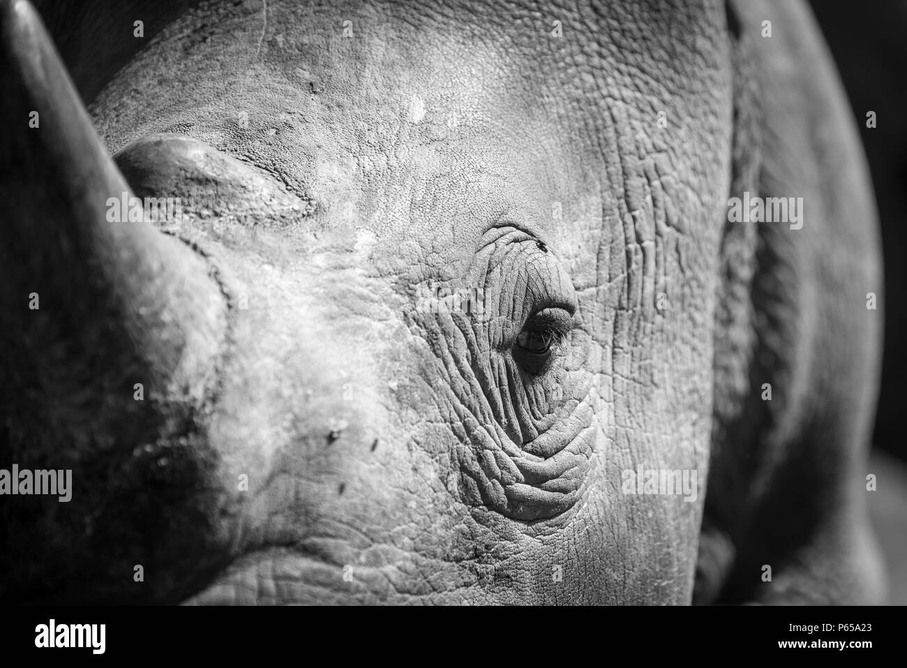 Close up of rhino eye and horn - Stock Image