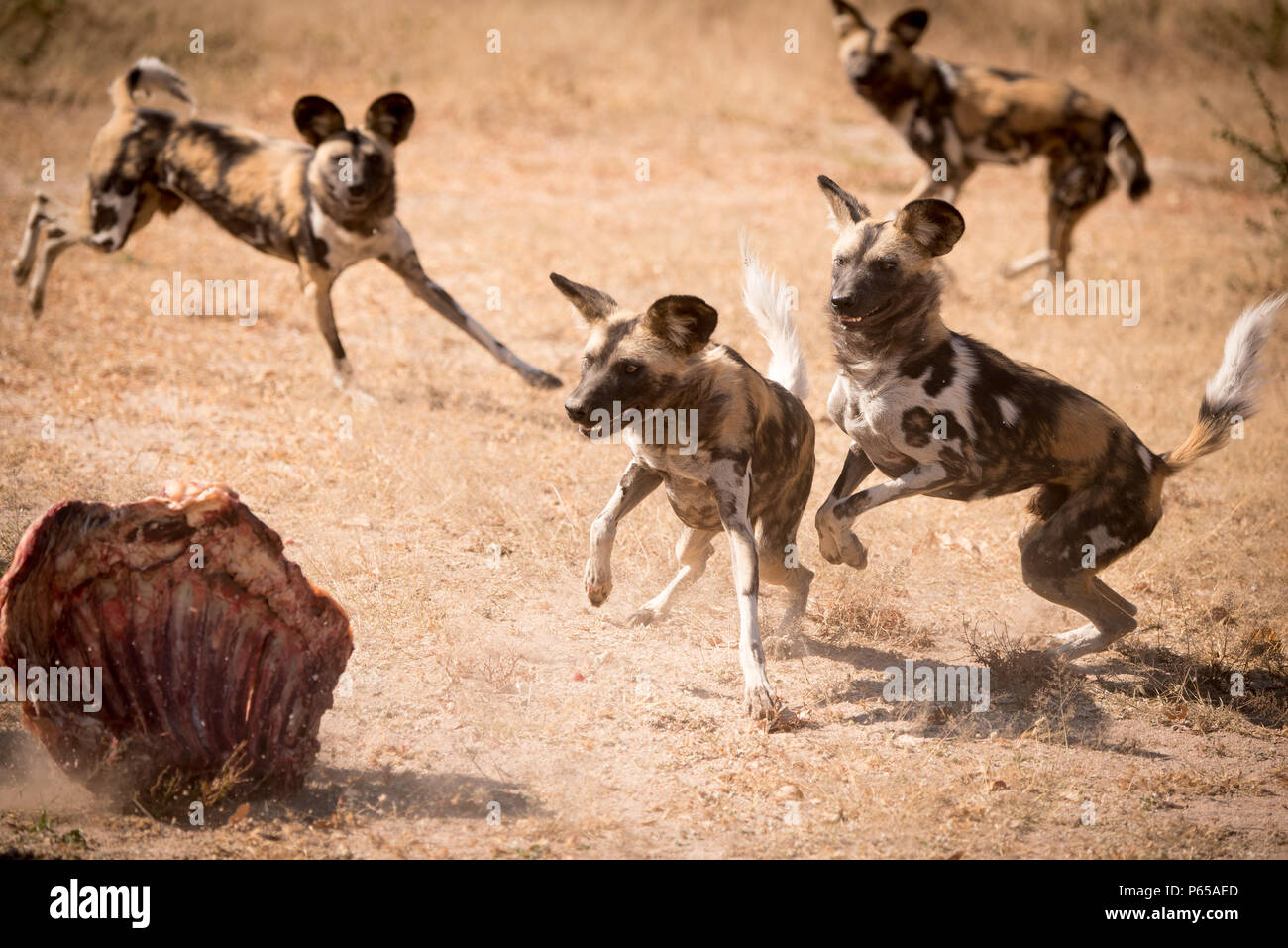 Pack of African Painted Wild Dogs feeding - Stock Image