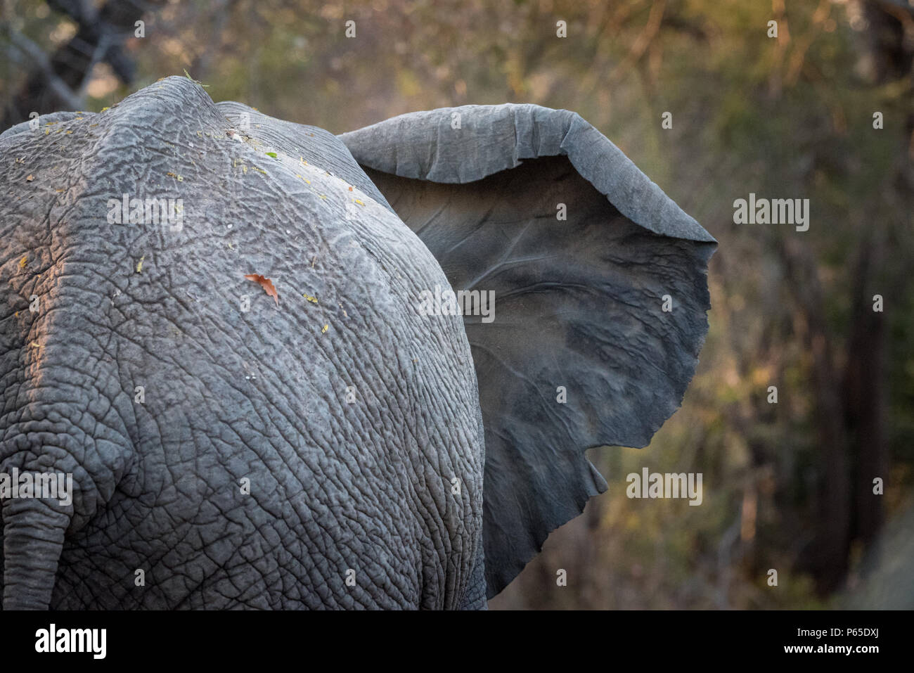 Elephant with ear out, viewed from behind - Stock Image