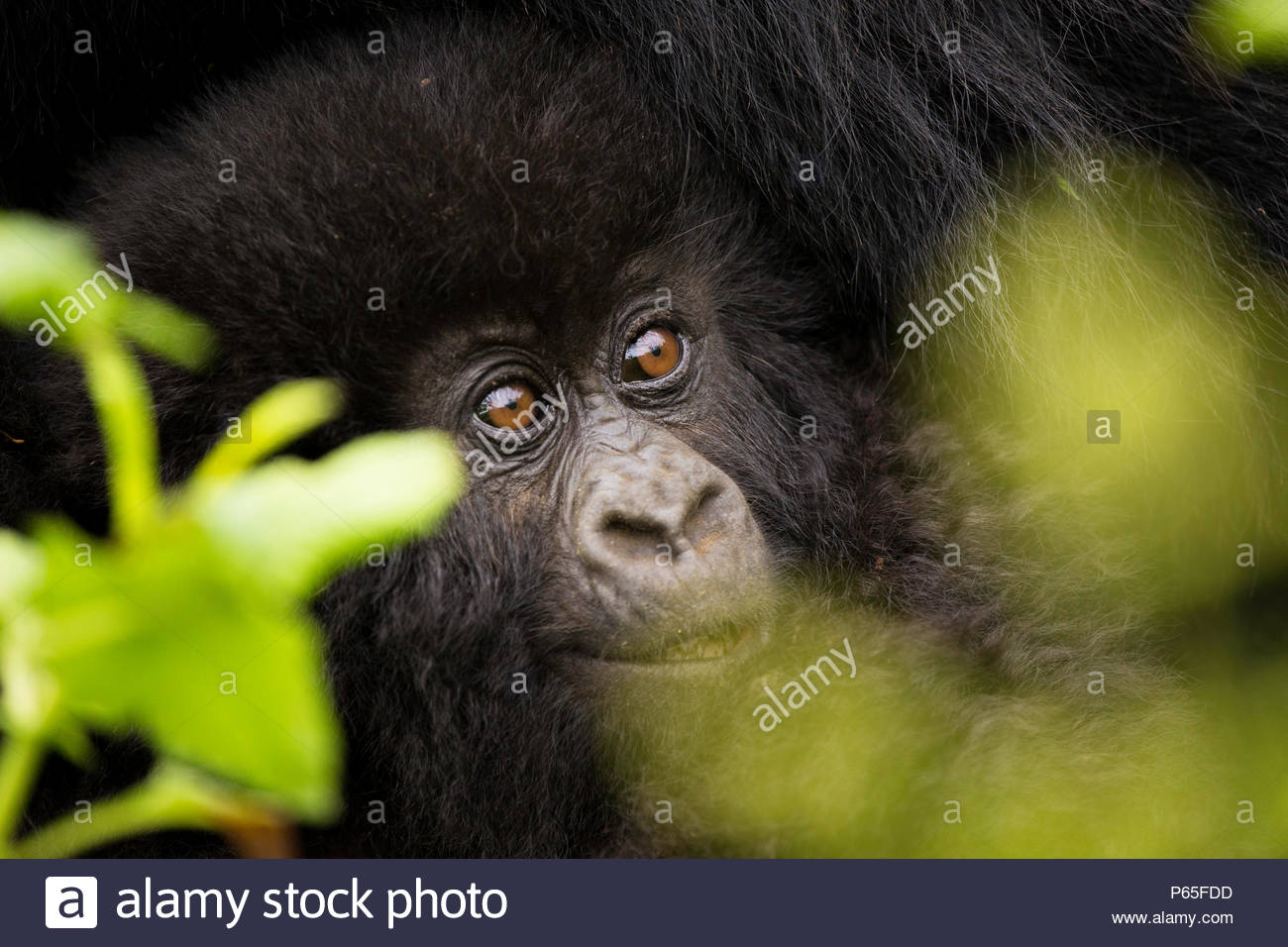 Playful baby Mountain Gorilla in Volcanoes National Park, Rwanda - Stock Image