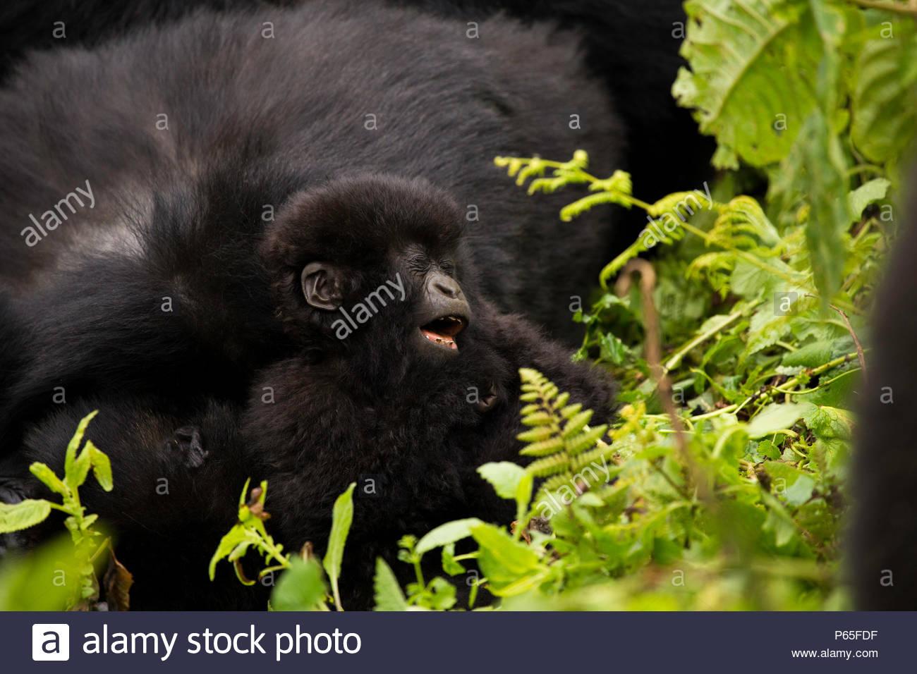 Playful baby Mountain Gorilla in Volcanoes National Park, Rwanda Stock Photo