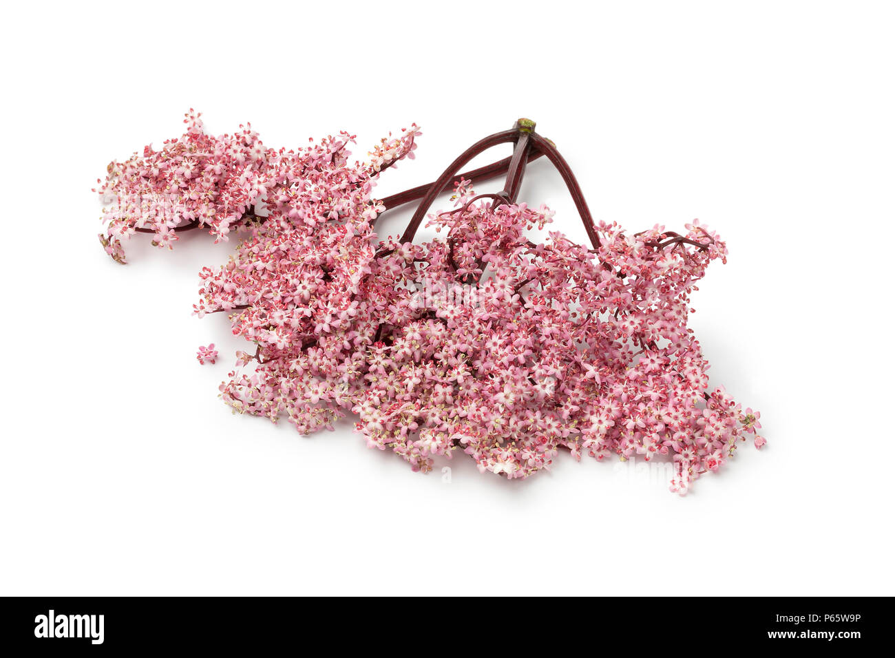 Twig of pink elderberry blossom isolated on white background - Stock Image