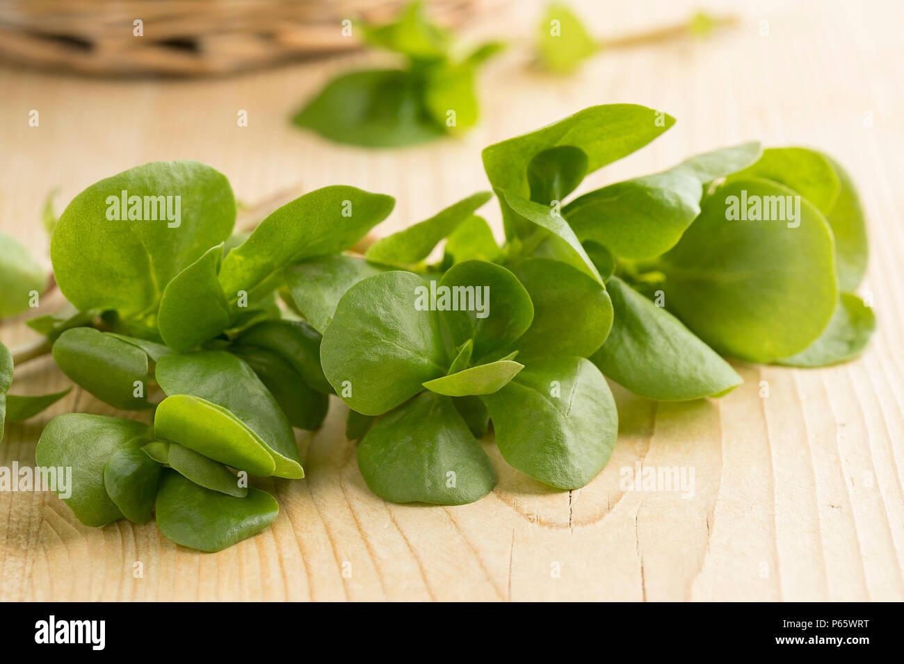 Twig of fresh raw common purslane leaves close up - Stock Image