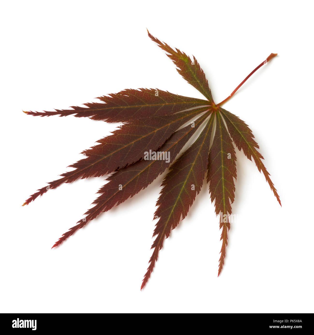 Single fresh brown Japanese maple leaf isolated on white background - Stock Image