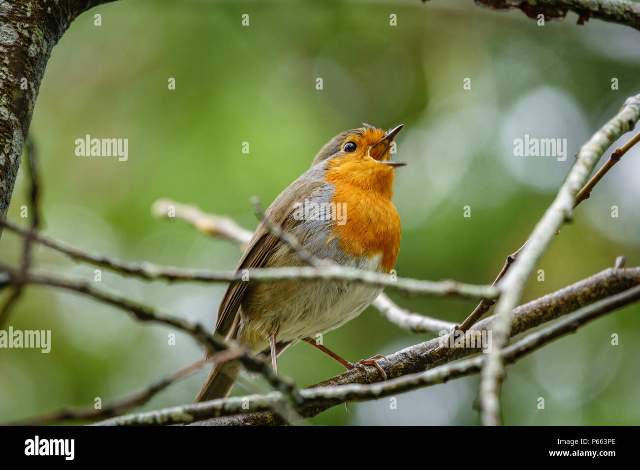 Erithacus rubecula over branch with blurred background - Stock Image