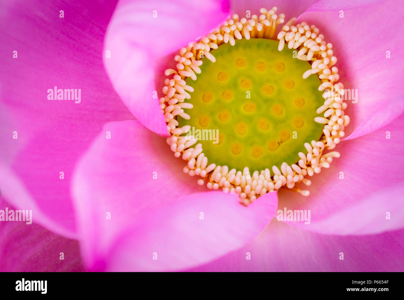 Top view of pink lotus flower in buddhism the lotus is known to be top view of pink lotus flower in buddhism the lotus is known to be associated with purity spiritual awakening and faithfulness aquatic plant mightylinksfo