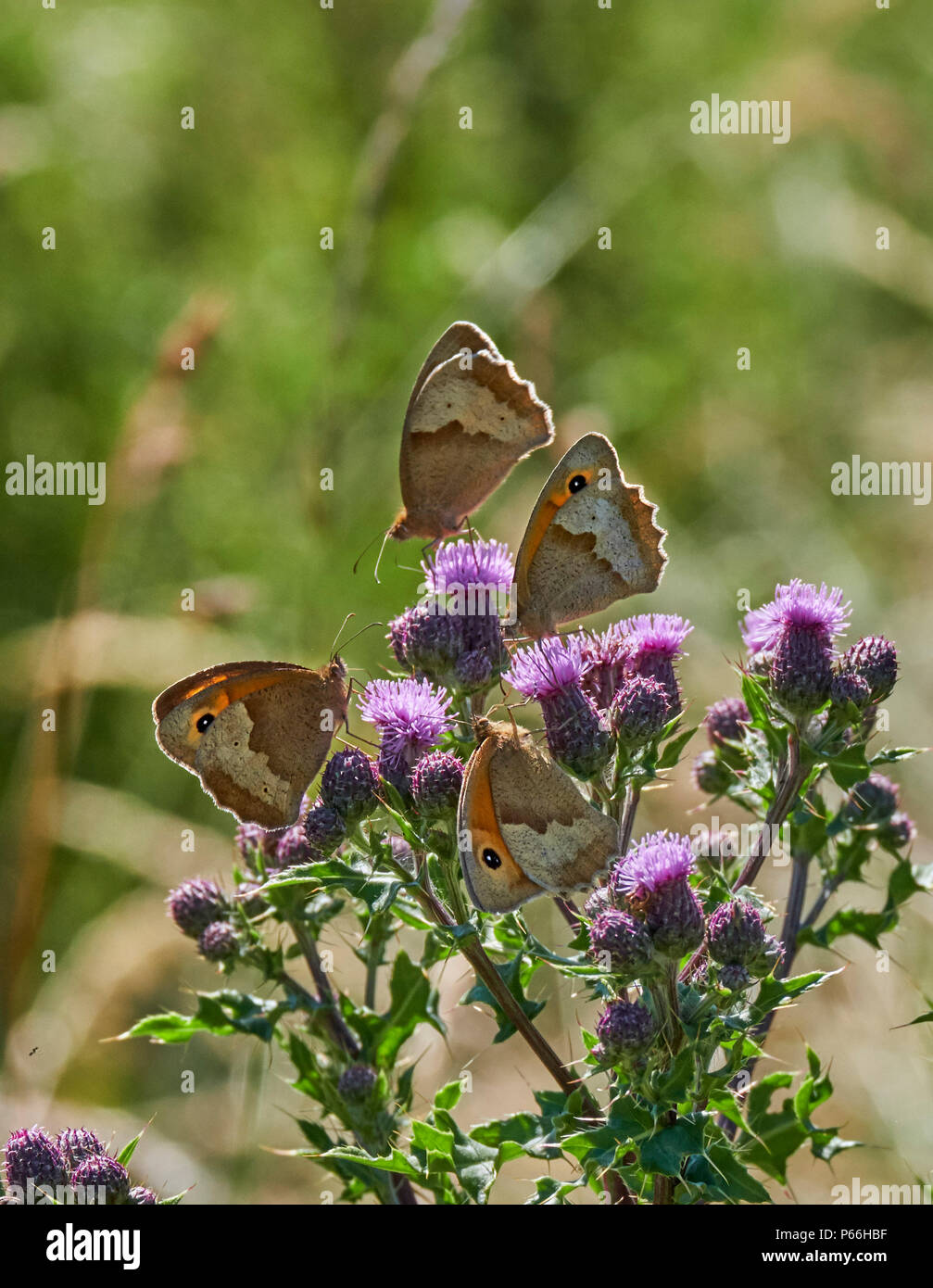 Meadow Brown butterflies nectaring on thistle flowers. Hurst Meadows, East Molesey, Surrey, England. - Stock Image
