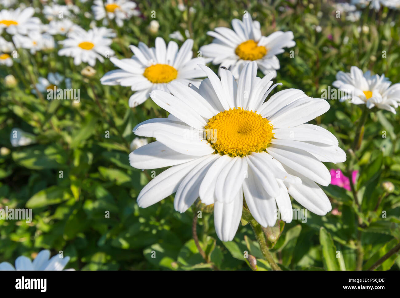 Daisy like flower stock photos daisy like flower stock images alamy leucanthemum x superbum or shasta daisies large daisy like flower growing in summer in izmirmasajfo