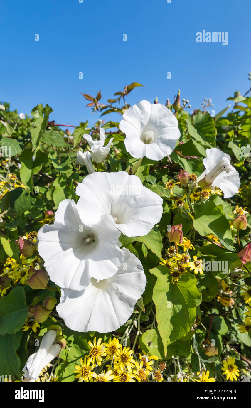White Trumpet Flowers of the Hedge Bindweed (Calystegia sepium, Rutland beauty, Bugle vine, Heavenly trumpets, bellbind) in Summer in West Sussex, UK. - Stock Image