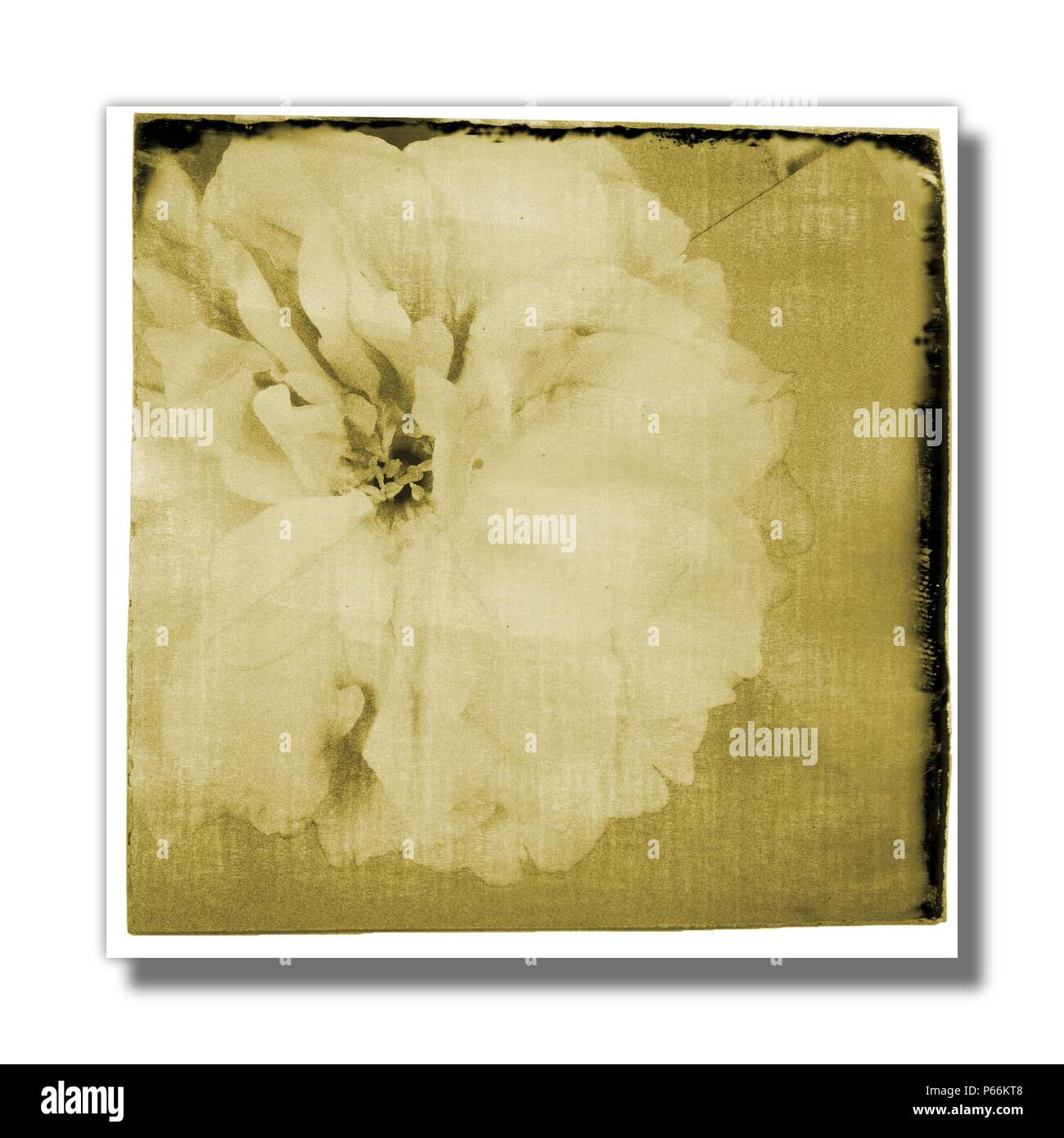 Cherry sakura flower on paper in sepia tones. - Stock Image