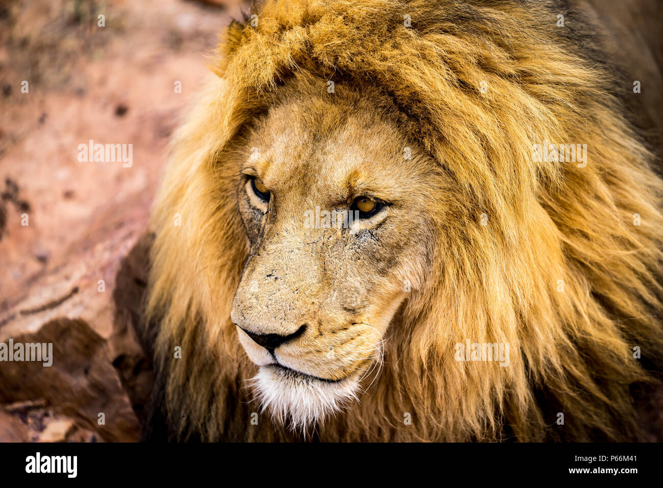 A lions face closeup, his eyes focussing on something outside the pucture - Stock Image
