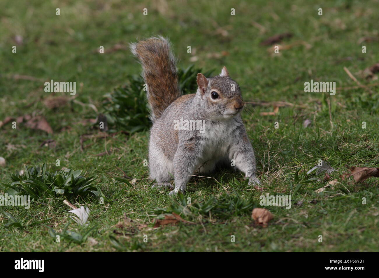 Sciurus carolinensis, grey squirrel, face on standing on grass, a british pest of forestry. - Stock Image
