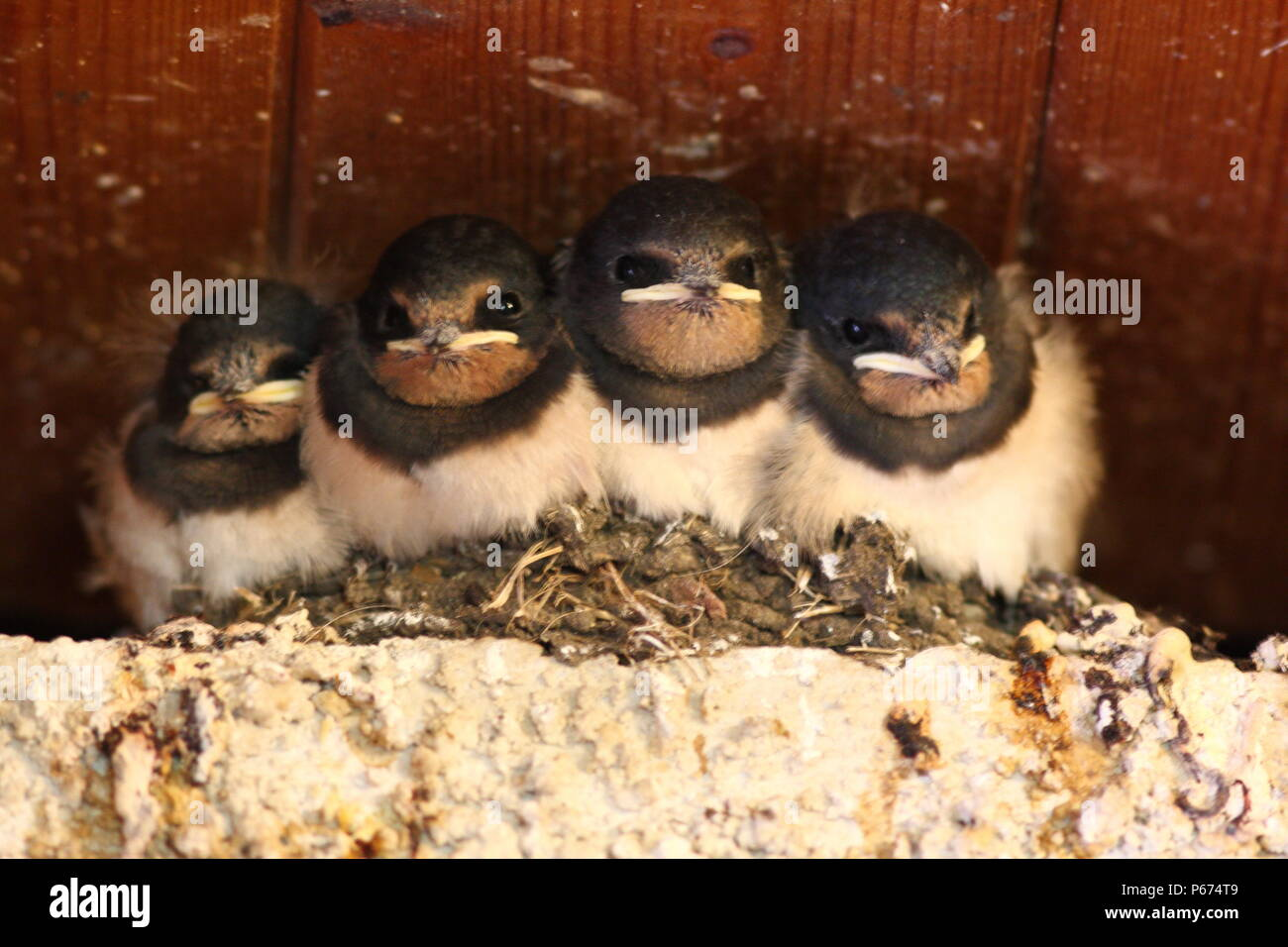 Hirundo rustica, Barn Swallow nestlings, within a toilet block. 4 young in this nest near to fledging. - Stock Image