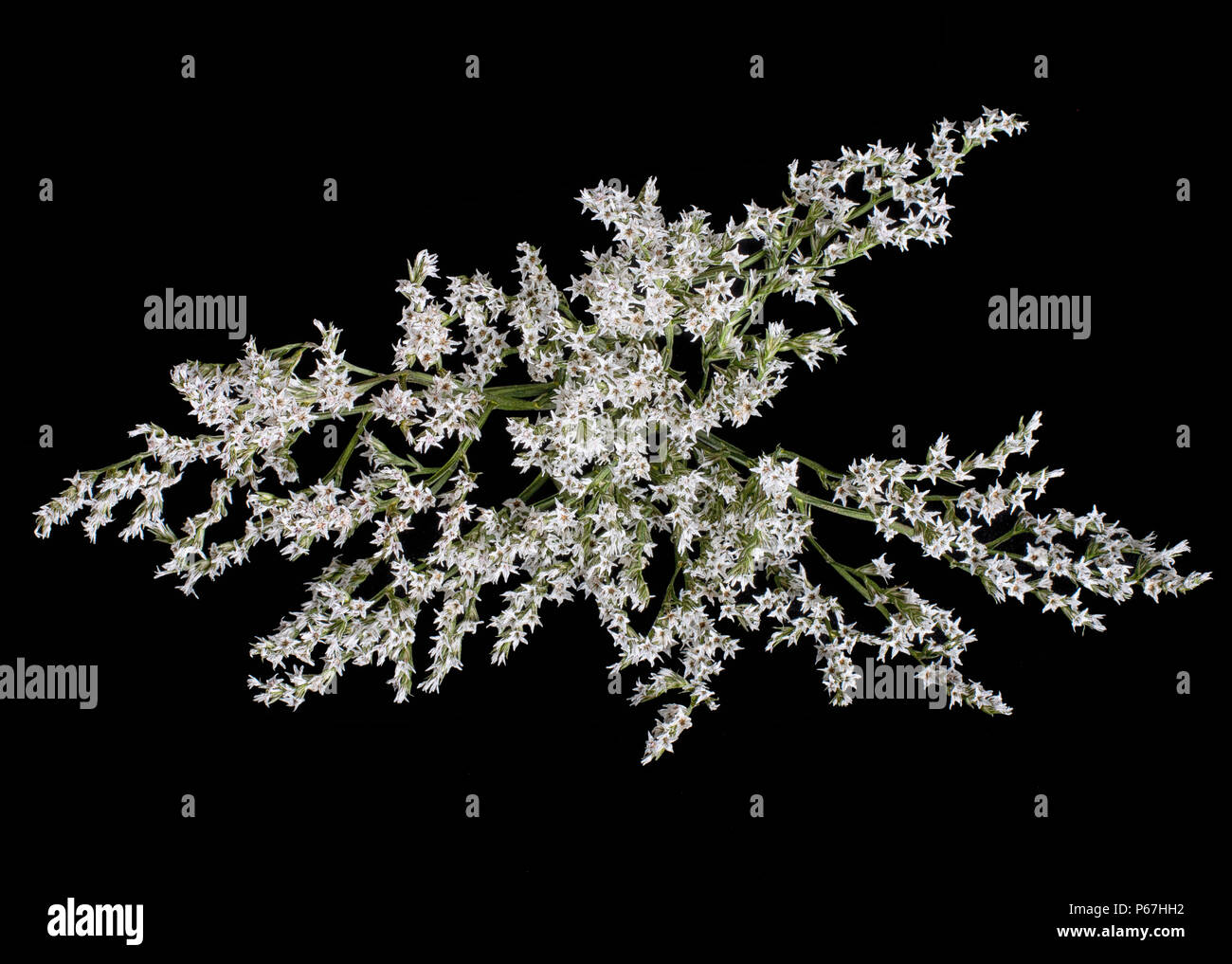Limonium  dumosum - tartaricum, tiny starry flowers. Variety of statice. Studio isolated on black. - Stock Image