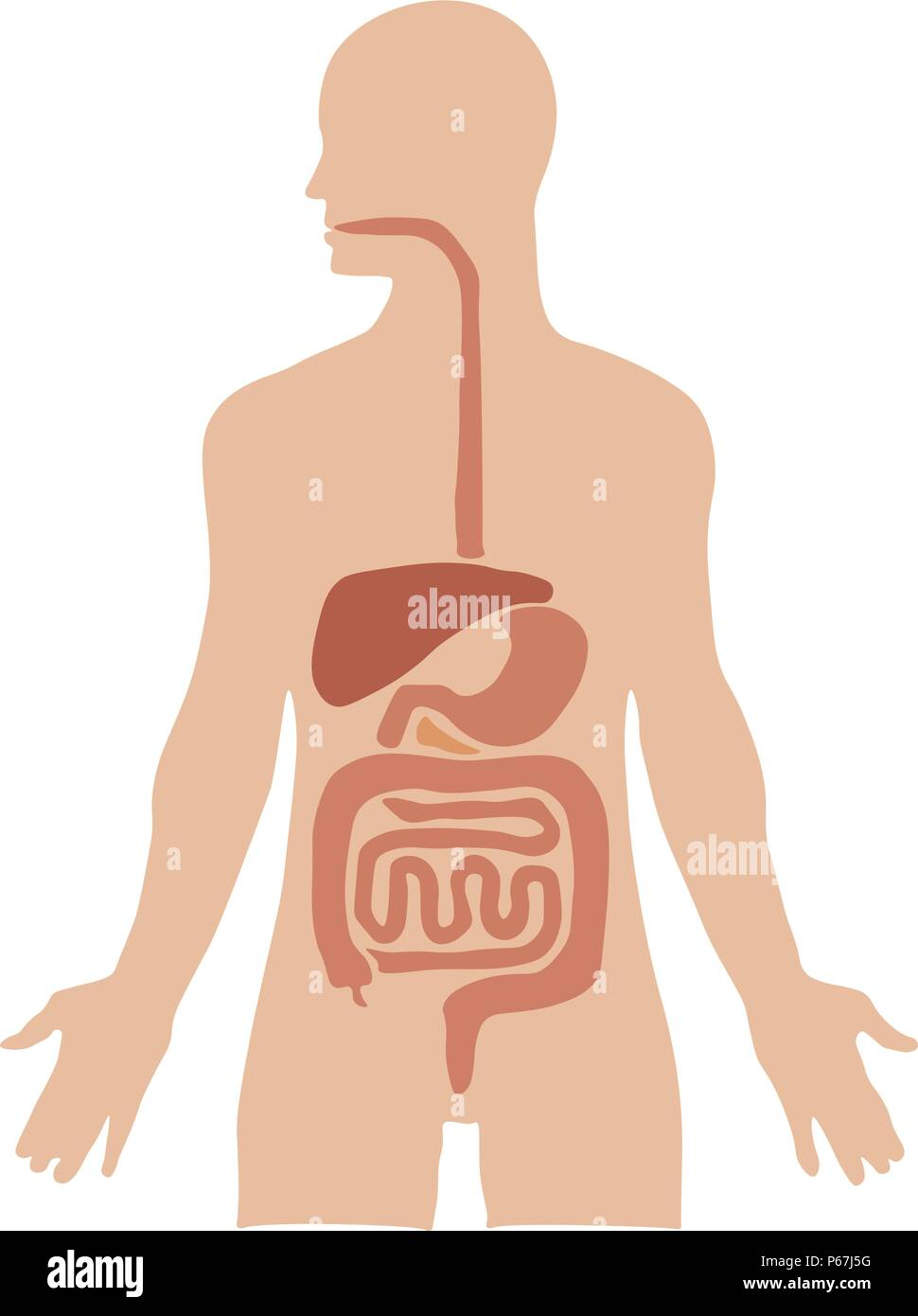 Human Internal Organs Stock Photos Human Internal Organs Stock