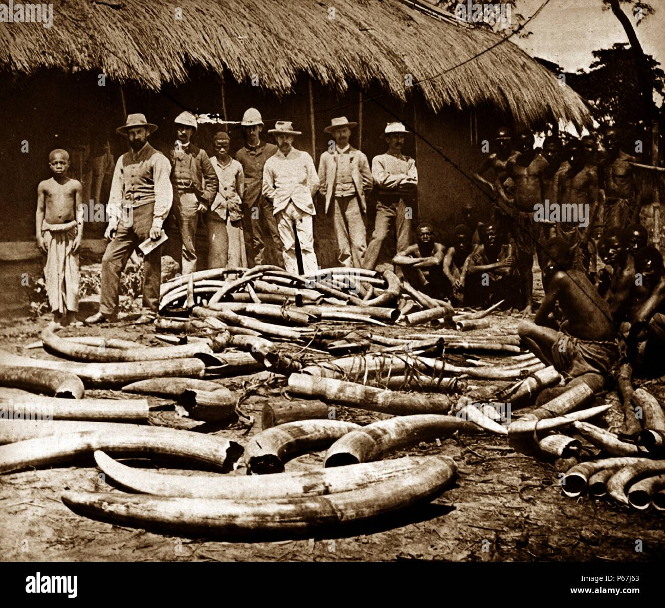Belgian colonial period Congo. Africa became a centre for ivory hunting from elephants killed for sport;   or ivory 1900 - Stock Image