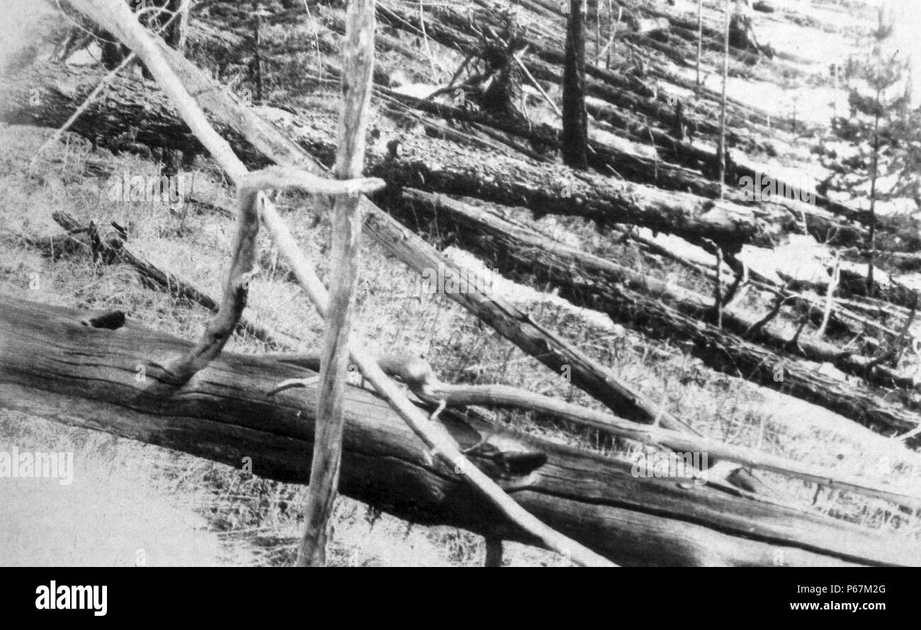 Photograph of fallen trees after the Tunguska event. The Tunguska event was a large explosion, which occurred near the Podkamennaya Tunguska River in what is now Krasnoyarsk Krai, Russia. Dated 1908 - Stock Image