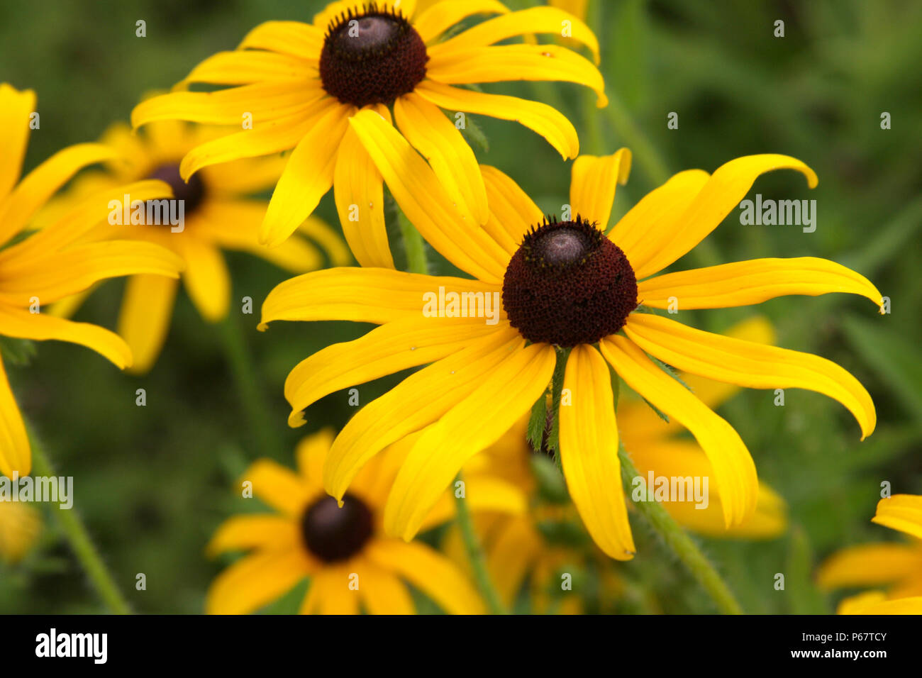 Echinacea Paradoxa Yellow Coneflower Stock Photo 210385195 Alamy