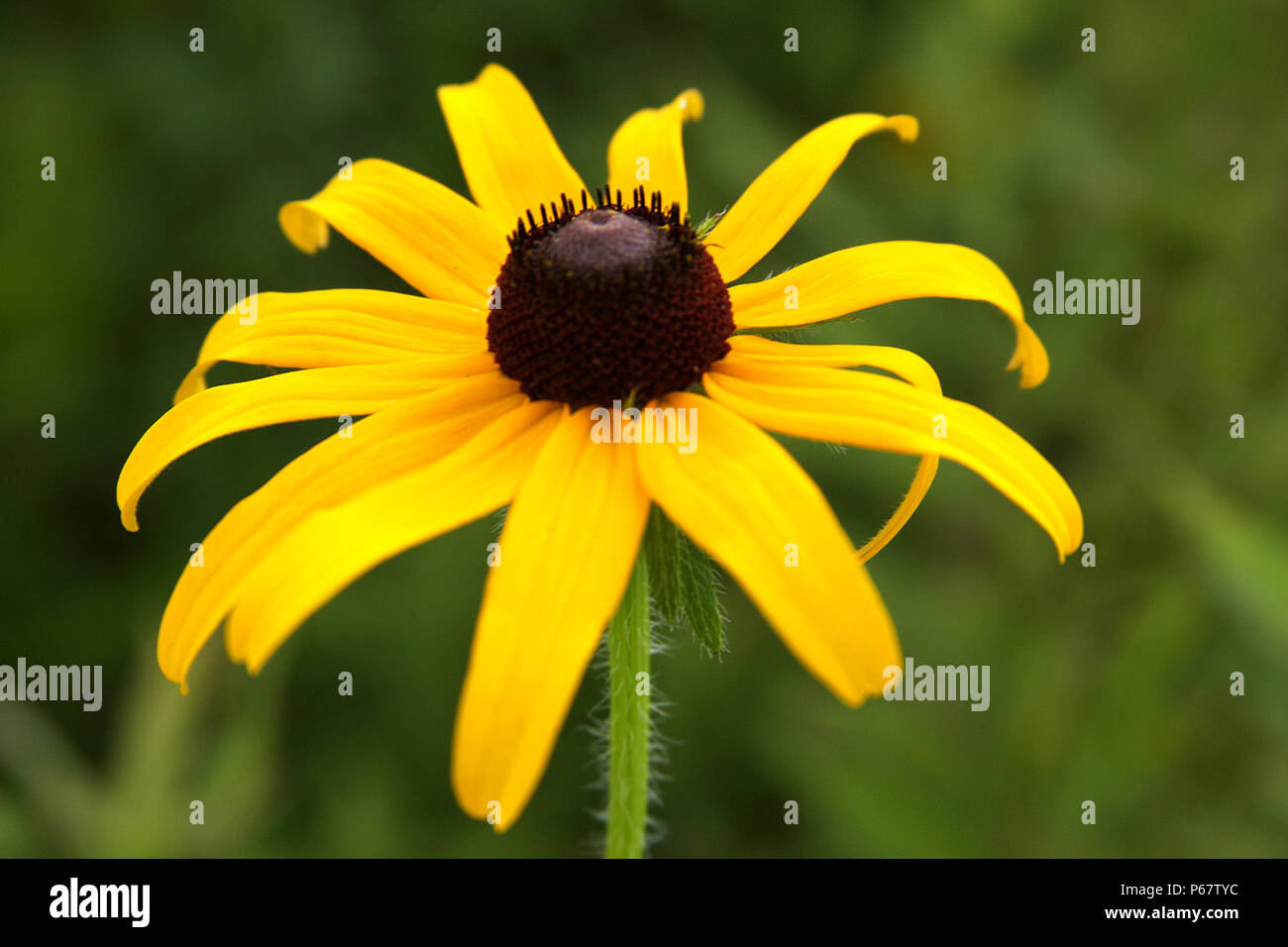 Close Up Of Echinacea Paradoxa Yellow Coneflower Stock Photo